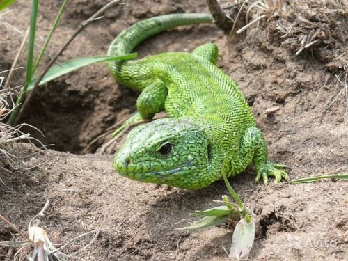 Amazing Lizards