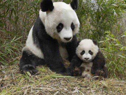 Panda – adorable and endangered
