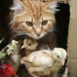 Cat and Chikens