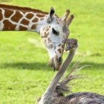 Giraffe and Ostrich