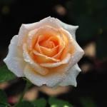 wonderful rose