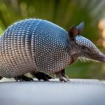 Armadillo – little armoured thing