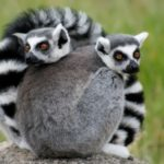 Some facts about lemurs
