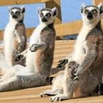 Lemurs are endangered animals