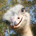 Ostrich – the biggest bird in the world