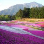 Carpets of flowers in the park Hitsuzhiyama, Japan