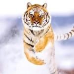 Runnig tiger