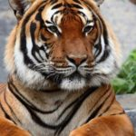 Tiger – striped big cat