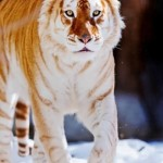 Tigers - magnificent creatures
