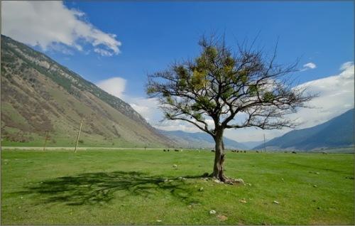 Upas Tree