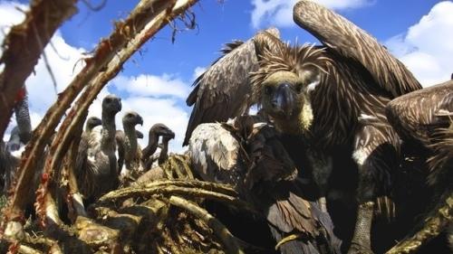 Vulture – bird of prey