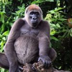 West Cross River gorilla