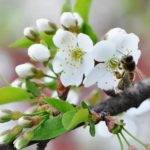 The apple-trees are in blossom