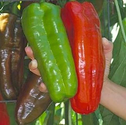 Giant bell pepper