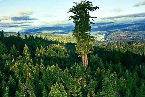 evergreen Sequoia