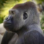 Gorilla - the largest of all primates