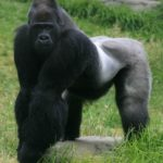 Gorillas – powerful primates
