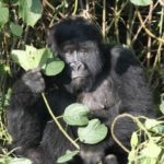 Gorilla - most powerful of all primates