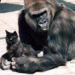 Gorilla and her fluffy friend