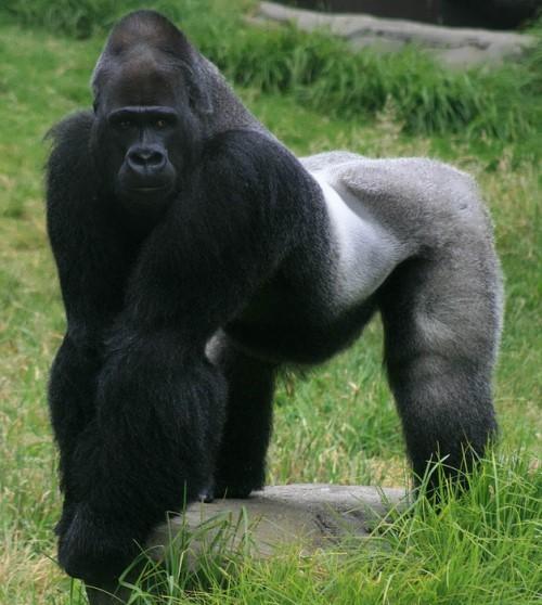 Gorillas – powerful primates