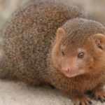 Mongooses – furred lightning