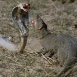 The Indian mongoose can even fight and kill king cobras!