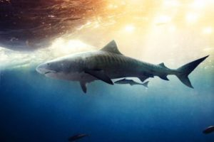 Sharks - predators of the sea