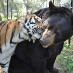 Good friends – tiger and bear