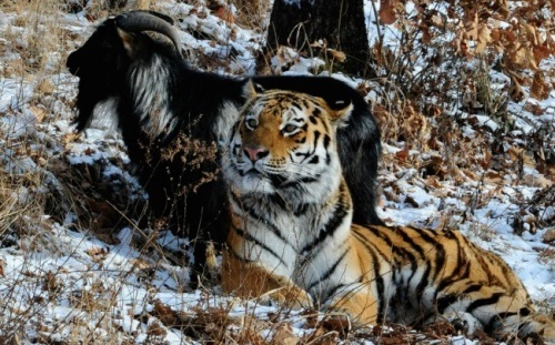 Tiger Amur and goat Timur
