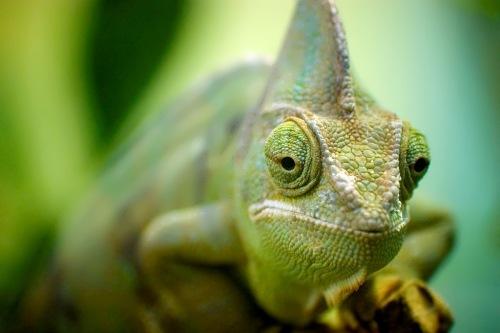 Chameleons – colorful lizards