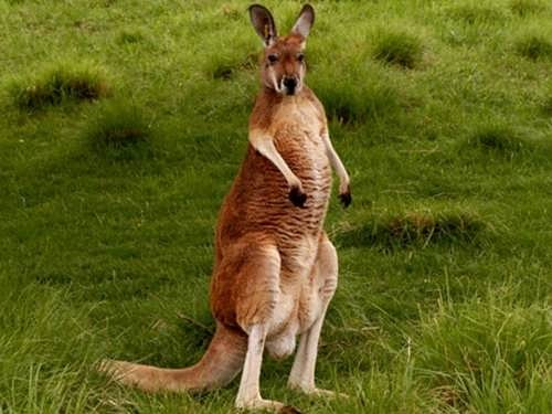 video worlds deadliest kangaroo