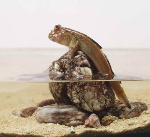 Mudskipper