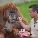 The world's oldest orangutan named Major