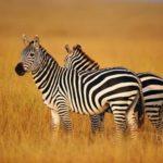 Zebras – graceful animals
