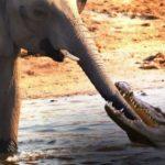 Crocodile vs Elephant