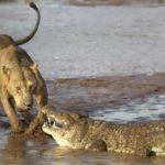 Crocodile vs Lion