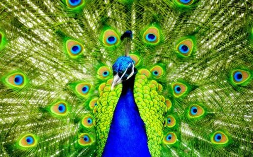 Peacock – the most beautiful bird