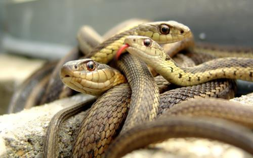 Misconceptions about snakes