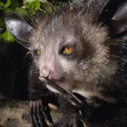 Aye-aye – amazing living thing