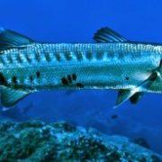 Amazing Barracuda