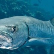 Dangerous Barracuda
