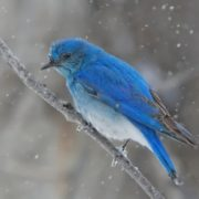 Bluebird – wonderful little bird
