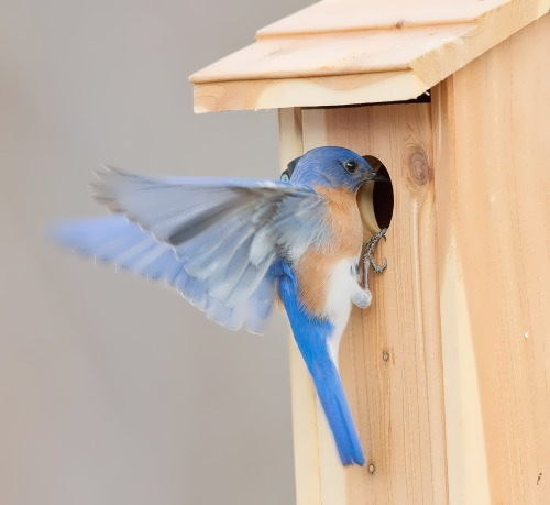 Bluebird in the artificial nest box