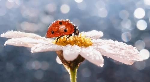 Ladybird on the daisy