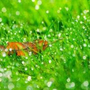 Dew often forms on grass during cool nights