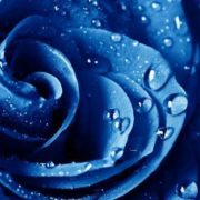 Dew on blue rose