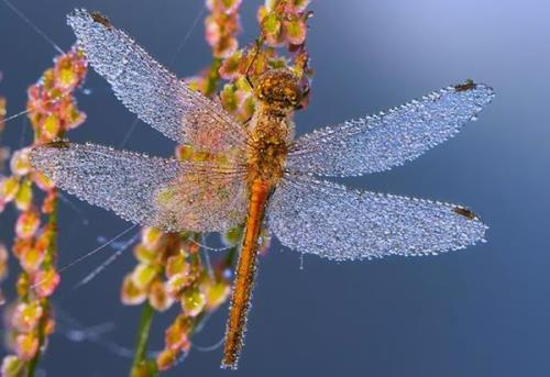 Dragonfly covered with dew