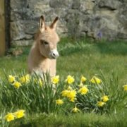 Cute miniature donkey