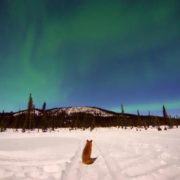 Fox watches the northern lights. Photo by Wendy Johnson