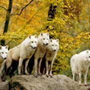 Pack of white wolves